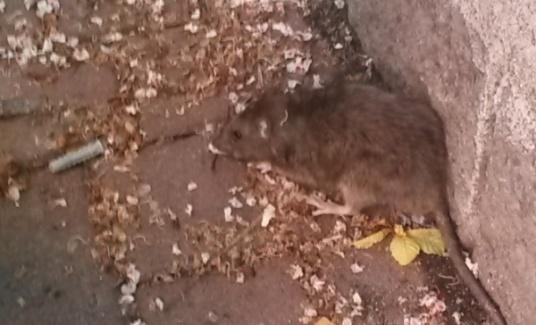 PRESENZA DI RATTI IN CITTA    INTERVIENE L AMMINISTRAZIONE ... 5129557608