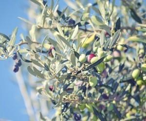 La-potatura-dell-olivo-foglie-2-e1489252981983