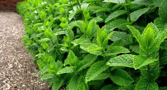 field of green, fresh peppermint